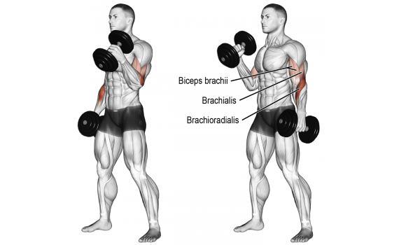 Curls biceps prise marteau - musculation biceps