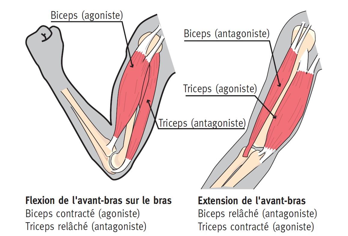 Entrainement supersets - muscles agonistes et antagonistes