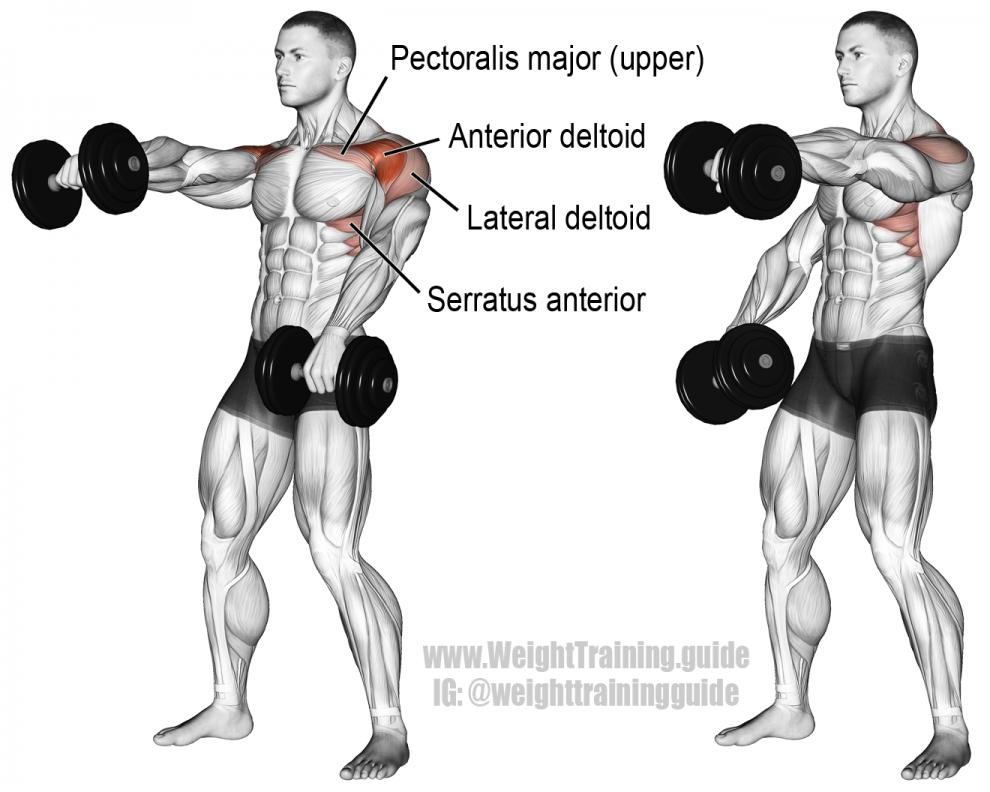 Élévations frontales haltères - Musculation Épaules