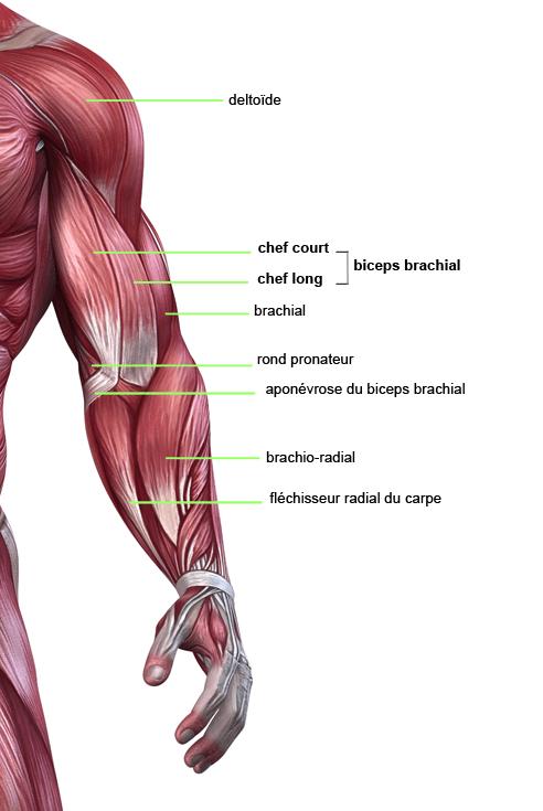 Anatomie-du-Biceps