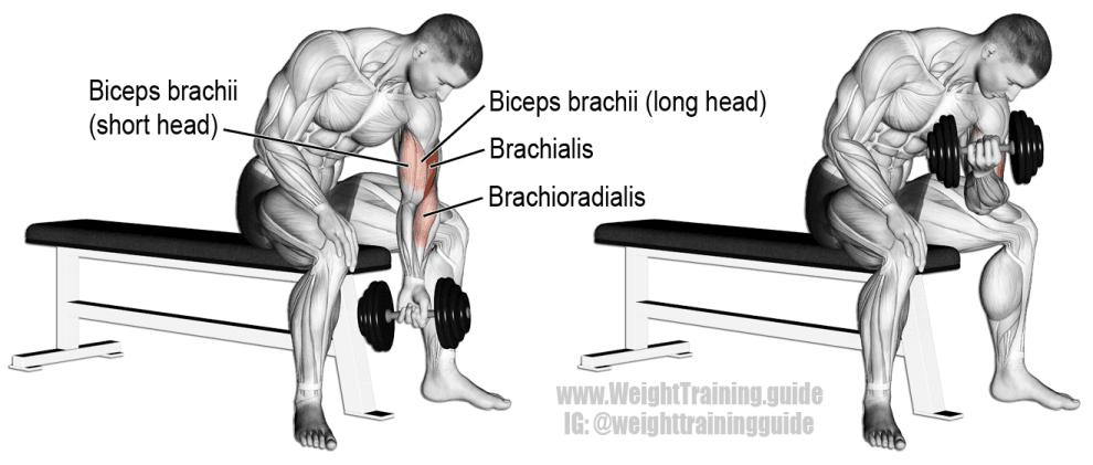 curl concentré haltères - exercice biceps